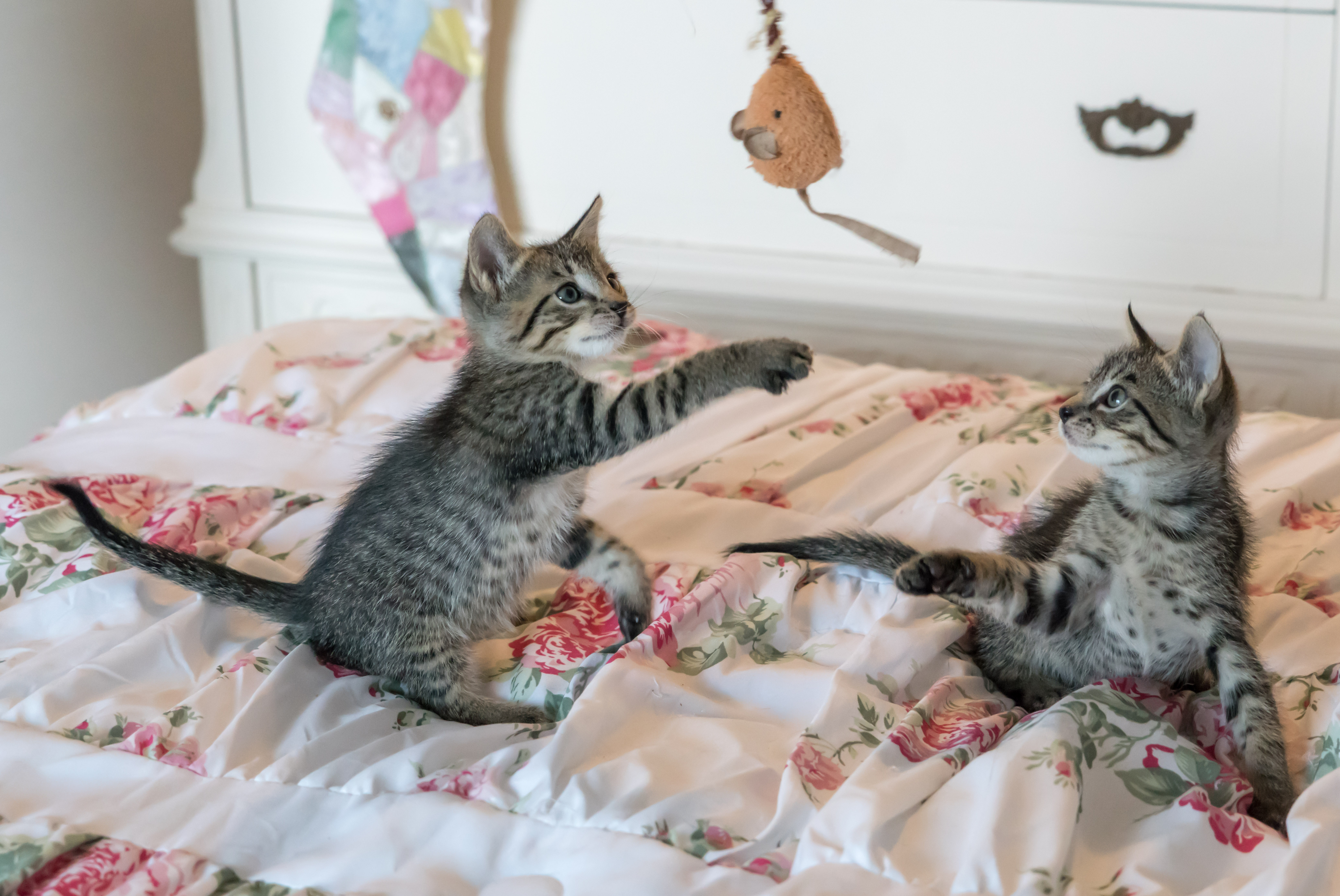 kittens-cats-foster-playing-160755.jpg