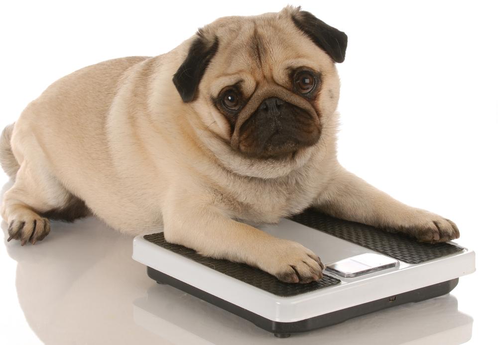 overweight-pet