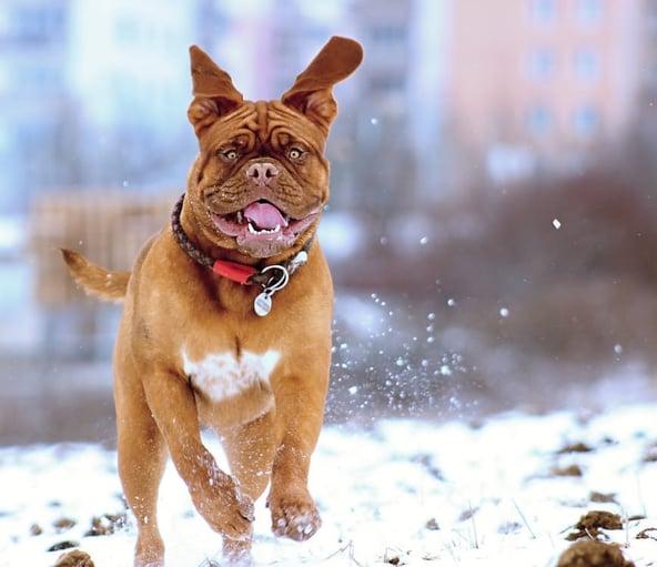 snow-dog-de-bordeaux-158682.jpeg