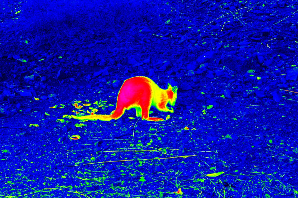 kangaroo-Thermography